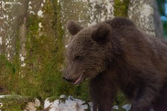Brown bear 18 - Slovenia (Sinar84 - www.captures.ch) Tags: 2016 animal bear black blue brown brownbear cliff europa juni karst kocevska notranjska notranjskaregionalpark orange red rock slovenia slovenianbearscom summer trees white