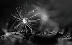 Die Pusteblume, die lieber ein zappelndes Spinnentier ist, als dass ihr der tausendste Kitsch zugeschrieben wird. (Manuela Salzinger) Tags: wood flower spring dandelion blume holz frhling lwenzahn pusteblume blowball
