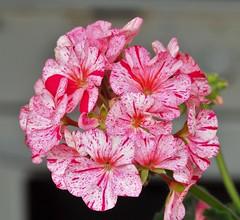 flower (ecordaphoto) Tags: pink red flower macro verde green nature nikon rosa natura fiore rosso geranio sigma105 d5100