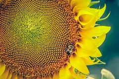 Summer has Arrived! (A Great Capture) Tags: summer sun sunlight plant canada flower macro fleur leaves yellow bug garden insect buzz leaf photographer montral quebec montreal details grow jardin sunny canadian bugs seeds bee qubec sunflower summertime t upclose firstdayofsummer botanique qc detailed agc ald ash2276 adjm ashleylduffus wwwagreatcapturecom agreatcapture mobilejay