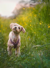 Sunshine (Naetrogen) Tags: helios442 vintage xt1 dog puppy portrait outdoor sunshine sunset sunlight nature landscape flowers bokeh girl summer grass sweden travelling travel depthoffield sunny golden