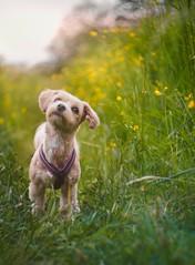 Sunshine (Naetrogen) Tags: helios442 vintage xt1 dog puppy portrait outdoor sunshine sunset sunlight nature landscape flowers bokeh girl summer grass sweden travelling travel depthoffield sunny golden