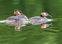 Mr & Mrs Grebe (coopsphotomad) Tags: greatcrestedgrebe grebe birds wildlife nature water waterbird diver avian explored explore