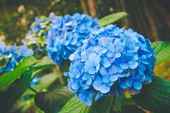 (Jack_Wei) Tags: flower taiwan hydrangea