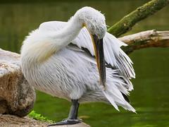 P1010649 (lychee_vanilla) Tags: bird animal zoo pelikan mnster vogel pelecanus zoomnster