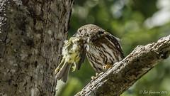 Northern Pygmy-Owl taking her prey into the nest hole (Bob Gunderson) Tags: california birds northerncalifornia peninsula owls pygmyowl sanmateocounty gazoscreekroad glaucidiumgnoma
