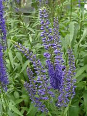 Spikes of blue (bryanilona) Tags: flowers blue garden veronica spikes florets fantasticflowers