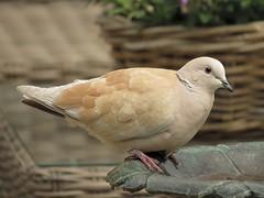 Duif:Dove _ (_BieFeen) Tags: bird nature canon garden pigeon dove duif sx60hs