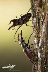 Stag beetle (Lucanus cervus), males fighting. (HerpetoMagge) Tags: stag beetle lucanus cervus cervo volante fighting fight italy combattimento quercus oak standing marco maggesi zamenis coleoptera insects insect wildlife beauty environment