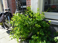 Green urban vegetation attacks a parked bicycle in the streets of Amsterdam city in Sp