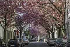 Bonn-Kirschbluete-18 (kurvenalbn) Tags: deutschland bonn pflanzen blumen nordrheinwestfalen frühling kirschbluete
