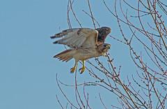 Red-tailed Hawk (Zone~V) Tags: red tree bird march maple kentucky birding raptor redtailedhawk buteo jamaicensis
