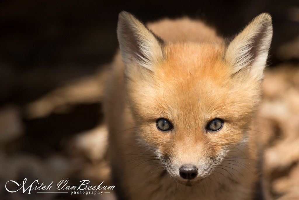 Portrait of a Red Fox Kit