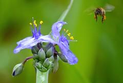 hovering bee (Krasivaya Liza) Tags: april apr 2015 atl atlanta ga georgia south southern charm city urban cityscape beltline park