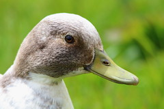 Duck portrait 2 (The_angler's_angle) Tags: portrait lake water duck spring pond beak ducks waterfowl