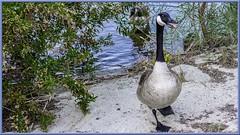 Canadian Goose (Sugardxn) Tags: california lake water birds geese palmsprings goose lakeside fowl canadiangoose canadiangeese canoneos7d canon7d sugardxn
