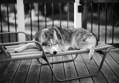 Reluctant Pose (fussgangerfoto) Tags: leica blackandwhite bw dog husky f1 deck noctilux monochrom siberian