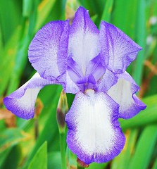 """Historic Iris """"Blue Shimmer"""" (bonnie97756) Tags: world flowers blue iris white flower eye nature beautiful beauty club oregon garden close view photos shots oneofakind best catching smell views 100views come plus 50 unlimited magicmoments shimmer mybest10 animalsnature justmeandmycamera naturegroupfromanimalstoplants beautifulviews 100viewclub views101200 unlimitedphotos iamnikon 100viewsunlimited 100viewsor10favorites"""