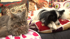 Breeze amd Charlie relax, 18 Apr 15 (Castaway in Scotland) Tags: blue dog pet cute animal cat silver grey scotland tabby gray maine adorable kitty east papillon coon lothian musselburgh