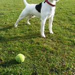 Dog playing with ball thumbnail