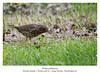 Turdus philomelos (amargolles) Tags: bird ave pajaro tordo tordu trush zorzal malvis paxaru