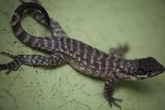 lime lizard (Simone Scott) Tags: lizard caymanislands curlytail caymanbrac limelizard simonescott