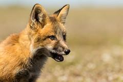 Red Fox Kit (Vulpes vulpes) - Washington State (bcbirdergirl) Tags: usa baby bunny amazing magic surreal fox kits wa kit rabbits openmouth washingtonstate foxes redfox vulpesvulpes babyfox