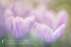 Spring Croci (Sylvia Slavin ARPS (woodelf)) Tags: bulb lensbaby spring soft purple bokeh crocus velvet croci
