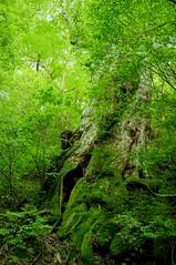 Yakushima #3 (k_t) Tags: green forest cedar yakushima mossy yaku