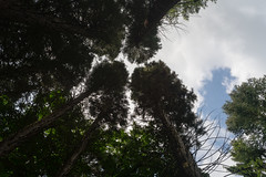 Redwood (martinstelbrink) Tags: leica trees tree 35mm sony summicron nrw redwood bume sequoia baum nordrheinwestfalen metasequoia f20 kaldenkirchen preasph leicasummicron35mmf20i leicasummicron35mmf20preasph sequoiafarm voigtlndervmeclosefocusadapter a7rii alpha7rii