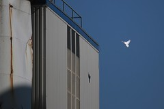 the whitest white casts its shadow (IcarusBlue) Tags: industry factory dove flight