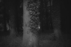 *** (pszcz9) Tags: las blackandwhite bw tree nature monochrome forest landscape sony poland polska arboretum a77 przyroda drzewo beautifulearth pejza