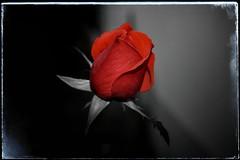 Nessuno  perfetto ... (lefotodiannae) Tags: colore rosa di fiore rosso  nessuno bocciolo perfetto selettivo lefotodiannae