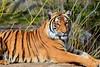 Tigre (tiger) (sarapavone1) Tags: berlin nature animal animals zoo wilde tiger natura felini tigre animali berlino zoodiberlino
