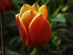 Spring Flower  (2) (car show buff1) Tags: flowers blue sunset canada nature robin landscapes woodpecker jay waterfront tulips cardinal dove flag wildlife trails finch chipmunk sparrow daffodil marigold oakville ravines on