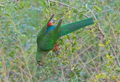 She is the King (christinaportphotography) Tags: red wild green bird birds female berries feeding free parrot australia nsw kangaroovalley australiankingparrot alisterusscapularis bendeelacampingarea