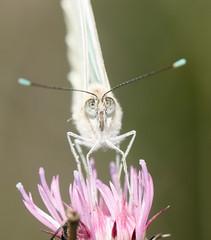 Pirpinto de la Col (Ascia monuste) (Pablo Brud) Tags: macro mariposas cauelas pieridae raynoxdcr250 pirpintodelacol