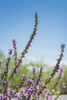 Flowering Purple Sage (EvanJawnson) Tags: summer arizona fauna 50mm flora nikon purple desert branches may saturday sage blooms nikkor chandler mayflowers niftyfifty d7100 nikond7100