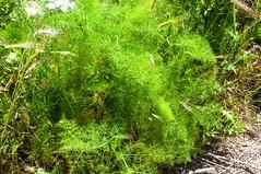 Otranto walk - wild fennel (dgourmac) Tags: otranto