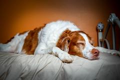 Modeling Can Be So Tiring.... (rlgidbiz1) Tags: orange dog pet love flash strobe brittanyspaniel sleepingdog offcameraflash