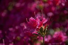 Rhododendron (Pat Celta) Tags: flores flower macro primavera spring nikon d70 flor 60mm florecillas 2016