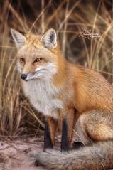 Sitting Fox (*~ Nature's Gifts Captured  ~*) Tags: nature photoshop newjersey dof wildlife creative 300mm fox jerseyshore redfox wildlifephotography specanimal naturesgiftscaptured nikond4s tamihrycak justnewjersey