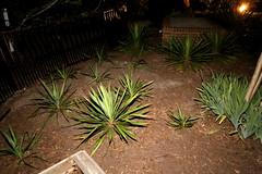 IMG_8650 (jalexartis) Tags: lighting nightphotography night yard dark landscape lights backyard landscaping shrub yucca shrubbery yuccaplant