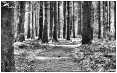 Dark woods (dunne_s) Tags: trees ireland forest mono woods kildare