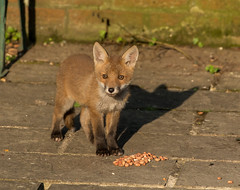 Fox cub (Steven Whitehead) Tags: sunset red nature canon garden fur feeding wildlife fox redfox 2016 1dx canon1dx