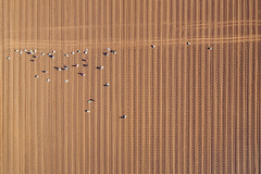 Vineyard Tubing (Sam_C_Moore) Tags: field sussex vineyard workers tubes aerial tubing aerialphotography