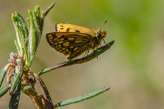 Northern Chequered Skipper (Tim Melling) Tags: carterocephalus silvicola northern chequered skipper estonia timmelling butterfly