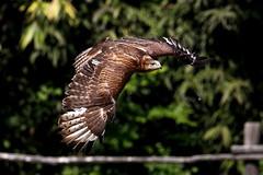 Poiana codabianca (carlo612001) Tags: flying volo buzzard falconry poiana flyingshot oasidisantalessio falconeria codabianca
