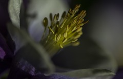Reach for the Sun - Aquilegia may 2016 (GOR44Photographic@Gmail.com) Tags: flower macro yellow canon petals purple 100mm aquilegia stamen 100mmf28 canon100mm 60d gor44