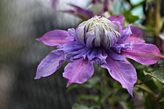 Happy Clematis Fence Friday (Cam Miller 2016) Tags: pittsburgh bokeh clematis purpleflower phippsconservatory hff fencefriday clematisdiamantia